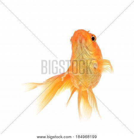 Goldfish , fish on a white background