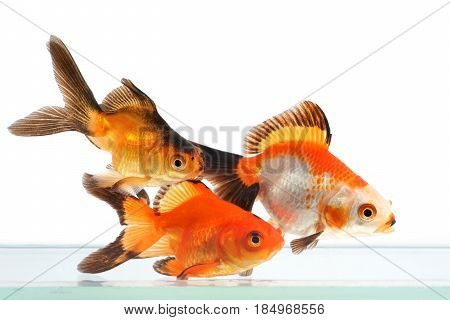 Goldfish group of fish on a white background