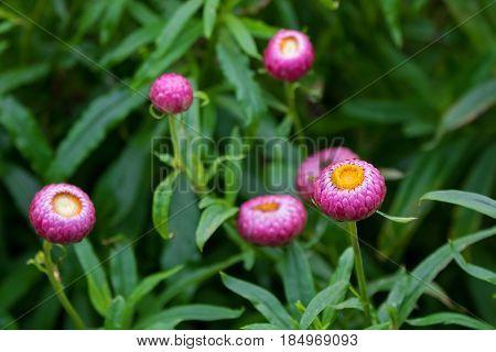 Selective focus of Strawflower flower, golden everlasting in pink grown in Tasmania, Australia (Xerochrysum Bracteatum)