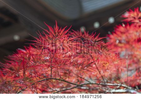 Autumn Red Foliage Of Acer Japonicum, Also Called Fernleaf Maple, The Amur Maple, Downy Japanese-map