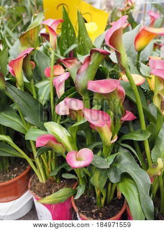 Calla jars, plants for sale at the flower market