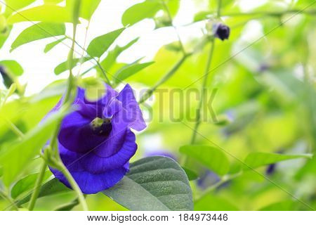 butterfly pea in bright of sun light