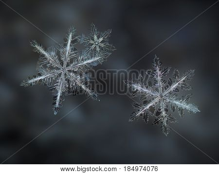 Macro photo of three real snowflakes on dark gray blur background. All these stellar dendrite snow crystals have similar complex shape and long, elegant arms with many small and thin side branches.