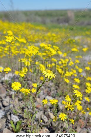 Yellow Ragwort flowers Senecio erucifolius, close up