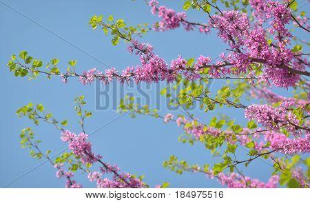 Cercis siliquastrum- Judas tree in spring time