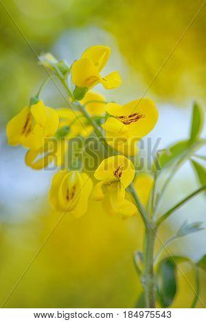 Yellow Golden shower Cassia fistula flower, close up