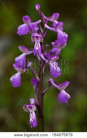 Wild Green-winged Orchid Over Out Of Focus Background - Anacamptis Morio Subsp. Picta