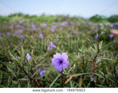 Purple Popping Pod or Ruellia Tuberosa blooming on a field.