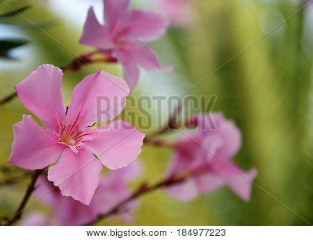 Pink Oleander flowers (Oleander Nerium).Blooming oleander with beautiful pink flowers close up.Selective focus.Copy space.