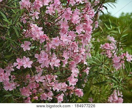 Pink Oleander flowers (Oleander Nerium).Blooming oleander bush with beautiful pink flowers.Selective focus.Copy space.