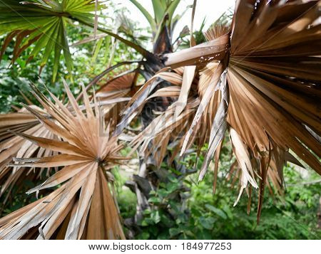 Closeup dried palm leaves among the green leaf trees.