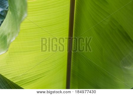 Big Green Banana Leaves In Asia (thailand)