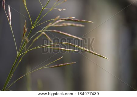 Blades of grass witn spikelets on the grey background
