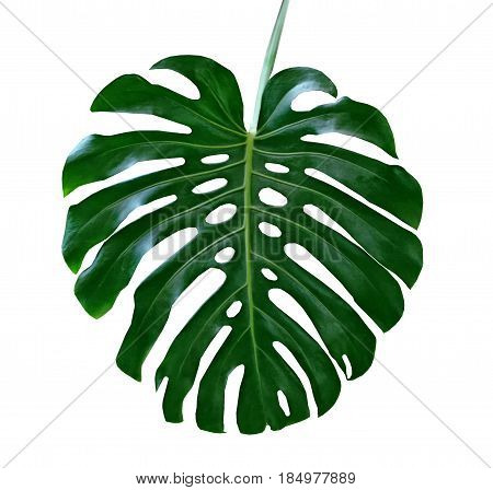 green leaf of a tropical flower monstera isolated on white background.