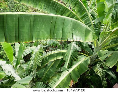 High angle view banana trees with giant banana leaves.