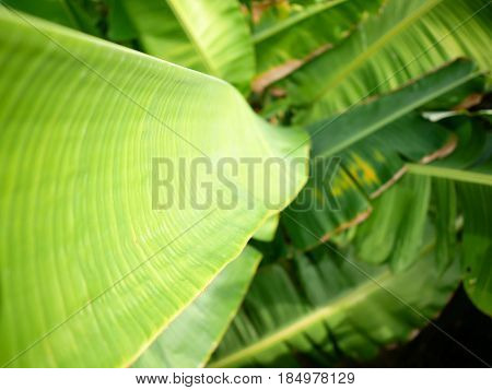 Background of closeup green color banana leaves.
