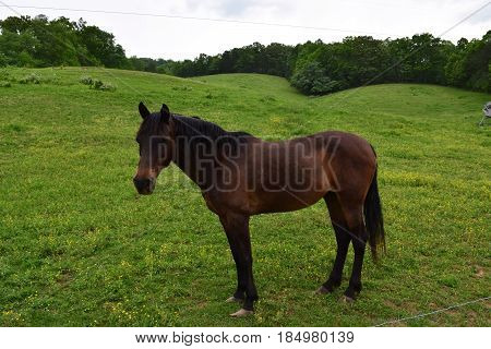 Brown horse with a black mane in a green pasture