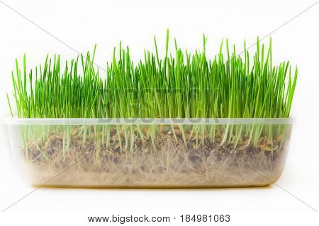 Wheatgrass sprouted in a plastic box on a white background. Growing fresh wheat grass for juicing and healthy life. Urban cultivation and gardening.