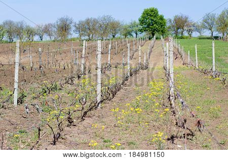 Young vineyards in Moldova. Sunny day spring time. Straight rows of vineyards green trees on the background