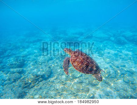 Marine tortoise in water. Olive green turtle underwater photo. Sea animal in coral reef. Coral reef ecosystem with plants and animals. Tropical island vacation activity. Snorkeling in tropic seashore