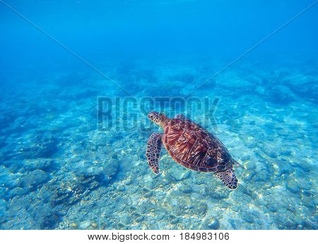 Wild turtle in blue water above corals. Olive green turtle underwater photo. Sea animal in coral reef. Coral reef ecosystem with plants and animals. Tropical island vacation activity. Tropic seashore