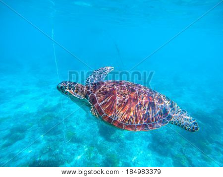 Wild turtle in turquoise blue water. Olive green turtle underwater photo. Sea animal in coral reef. Coral reef ecosystem with plants and animals. Tropical island vacation activity. Tropic seashore