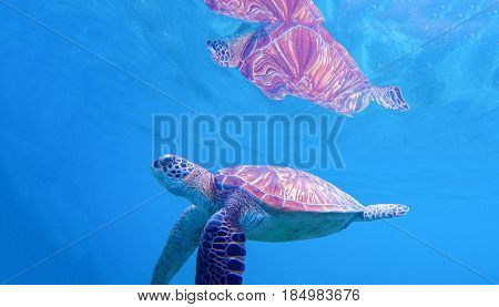 Sea turtle under water surface. Swimming turtle in blue seashore. Sea tortoise snorkeling photo. Green turtle oceanic animal in sea. Tropical wildlife. Beautiful wild nature on tropic seashore.