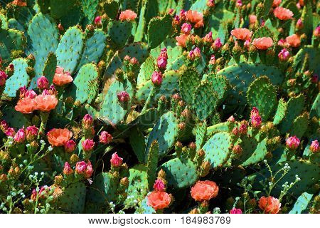 Prickly Pear Plant Cactus flower blossoms during spring taken in the Mojave Desert, CA