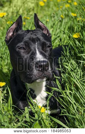 Young black Staffordshire terrier dog close up. Six month old dog on green grass background. Doggy with calm expression raising his ears. Purebred dog resting on a meadow. Dog head with cropping ears.