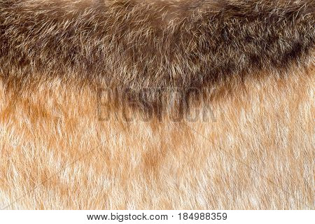 Texture of fox fur. Color transition from brown to beige with a yellow tinge. Natural fur.