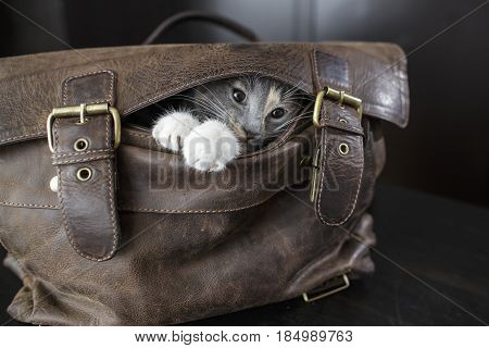 Funny kitten sitting in an old leather bag with and do not want to let the owners to go to work