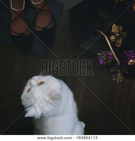 White funny fluffy cat Scottish Highland Straight sitting near flowers and shoes poster