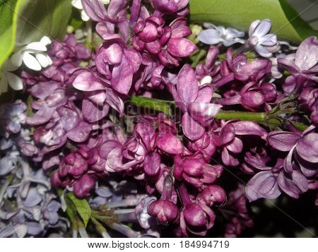 Lilac very good special beauty celebrated Lilac - a valuable medicinal and industrial plants. For treatment use flowers and leaves. Harvest them in bloom