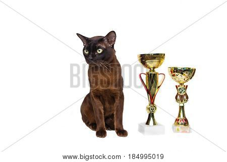 Cat Brown, Chocolate Brown With Large Green Eyes With Winning Cups, Trophies On On A Isolated Backgr