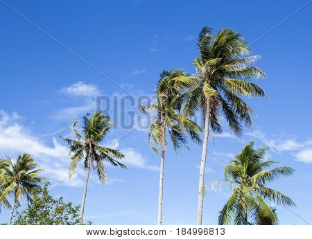 Tall palm tree on tropical island. Bright blue sky background. Summer vacation banner template. Fluffy palm tree with green leaves. Coconut palms under sunlight. Exotic nature holiday relaxing view