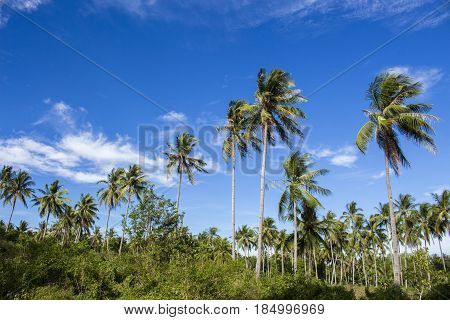 Tropical landscape with coco palm trees. Exotic place view through palm tree silhouettes. Palm tree forest under sunlight. Peaceful paradise image for poster or card. Sunshine over coco palm leaves