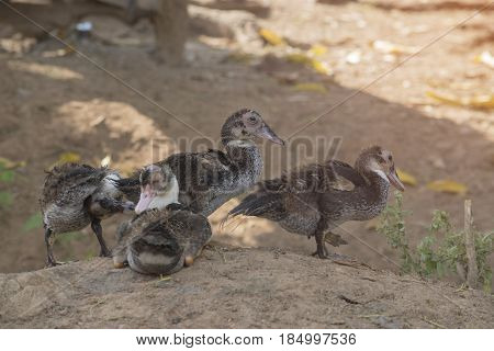 Group of ducklings with selective and soft focus.