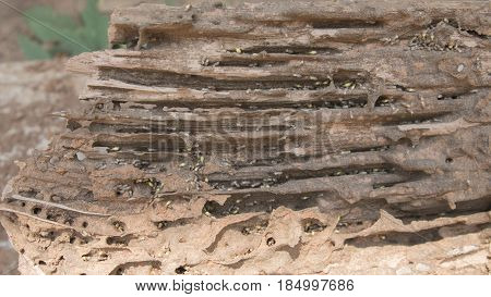 Old and grunge wood board was eating by group of termites with selective and soft focus.