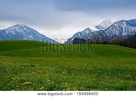 Snowy mountains behind a green meadow with dandelion in the bavarian alps famous tourist resort in bavaria germany europe copy space