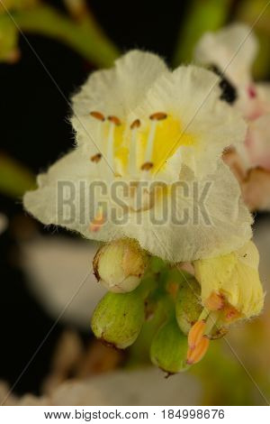 Close-up Portrait Of A Chestnut Trees Blooming