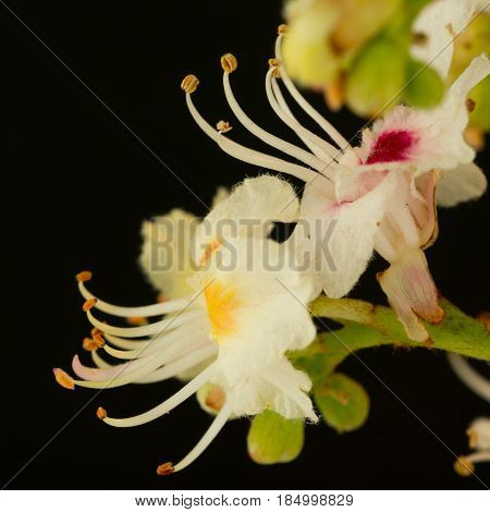 Close-Up Portrait of a chestnut trees blooming, isolated on black background