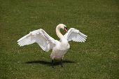 White swan waving wide wings on the riverbank poster