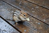 chipmunk/squirrel eats a potatoe chip on wood poster