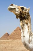 Camel in front of Egyptian pyramids in Giza Egypt poster