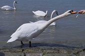 feeding the white swan poster