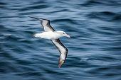 Black-browed albatross gliding over deep blue waves poster