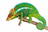 Side view of green male chameleon of branch, isolated on white background. poster