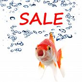 sale marketing or shopping concept with goldfish on white poster