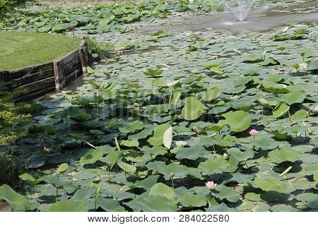 Lily Water Leaf In Pond / Close Up Of Green Leaf Lily Water Or Lotus Pond In The Garden