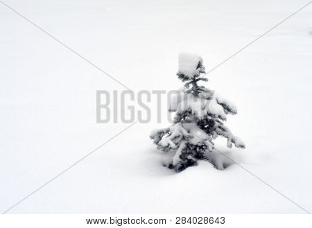 Small Spruce On The Background Of White Snow.